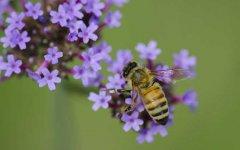 【蜜蜂养殖】2018蜜蜂养殖有前景吗?