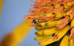 【蜜蜂养殖】为什么蜜蜂不蛰养蜂人?