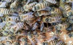【蜜蜂养殖】蜜蜂养殖新技术