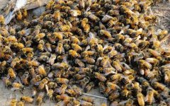 【蜜蜂养殖】蜜蜂养殖成本高吗?