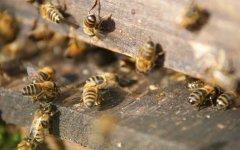 黑色的蜜蜂是什么蜂
