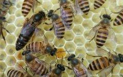 【蜜蜂养殖】蜂群没有蜂王如何养好蜜蜂