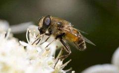 意蜂怎么样分蜂发展快