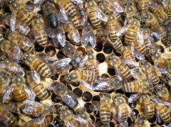 【蜜蜂知识】雄蜂是如何发育的