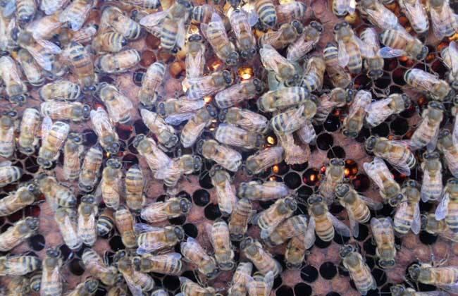 如何防治蜂螨最有效