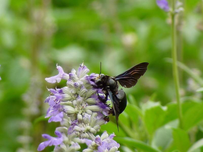 黑竹蜂一只多少钱