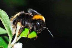 黑色的蜜蜂有毒吗?