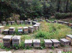 【蜜蜂知识】养殖中蜂好还是意蜂好