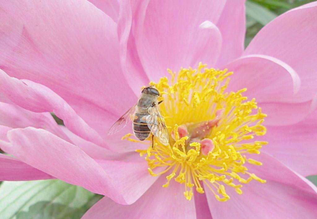 蜜蜂是怎样采蜜的