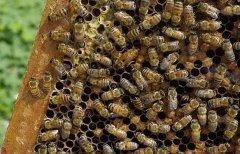 蜜蜂快速繁殖发展的方法