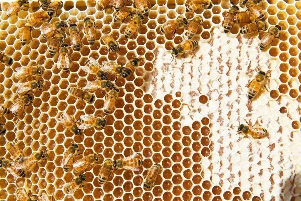 蜜蜂的生活习性有哪些?