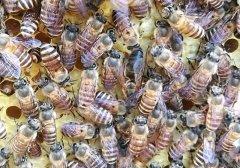 蜂群秋季如何管理