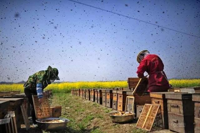 2018蜜蜂养殖有前景吗?