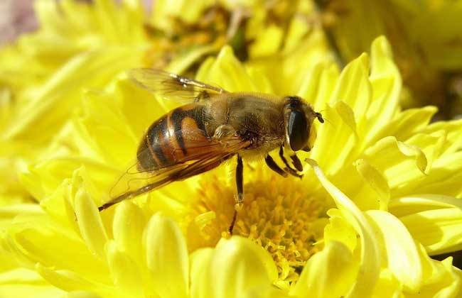 蜜蜂和黄蜂外表的区别