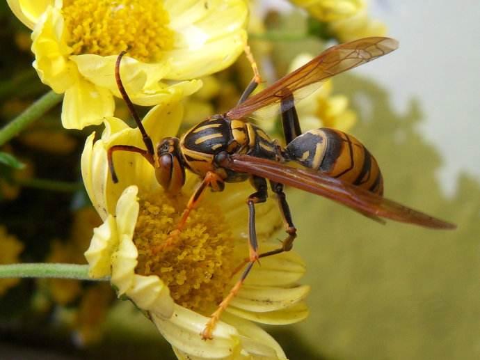 蜜蜂和黄蜂的区别