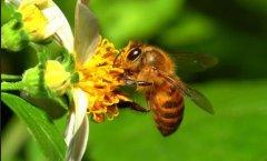 被蜜蜂蜇了是好兆头吗?