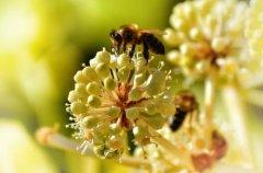 蜜蜂是昆虫吗?