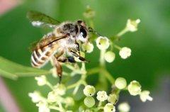 中华蜜蜂(中蜂、土蜂)