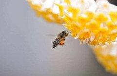蜜蜂的一生是多长,怎么度过的?
