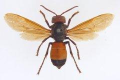 黄腰虎头蜂