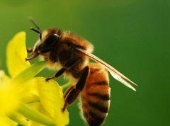 怎样才能养好蜜蜂?