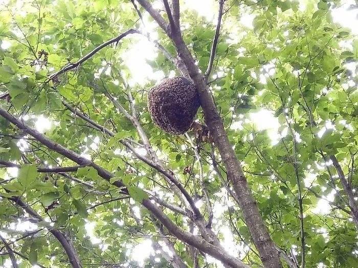 蜜蜂人工怎样分蜂?