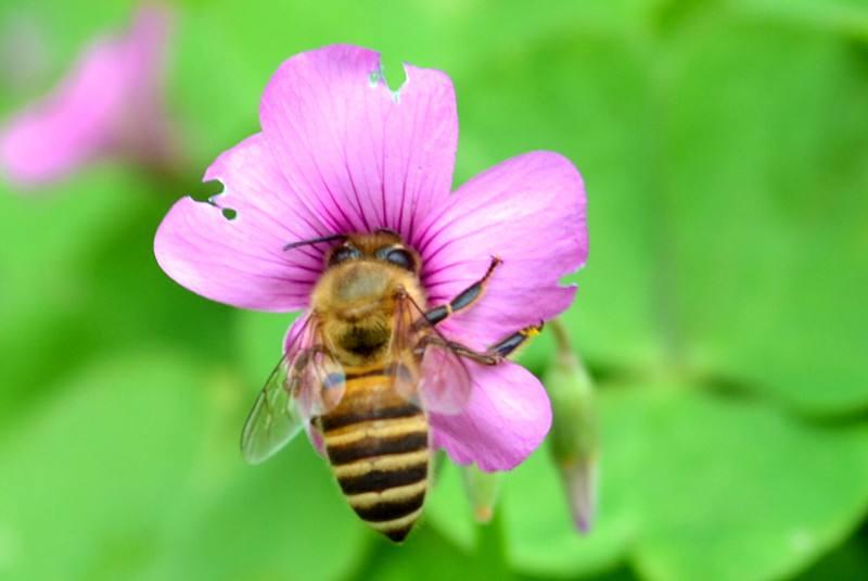 一只蜜蜂一生能采多少蜜?