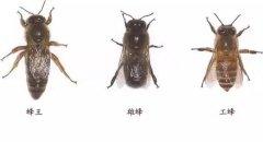 蜜蜂的生活习性及生长过程