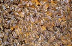 蜜蜂黑蜂病如何防治?