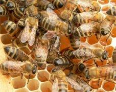 蜜蜂败血病如何防治?