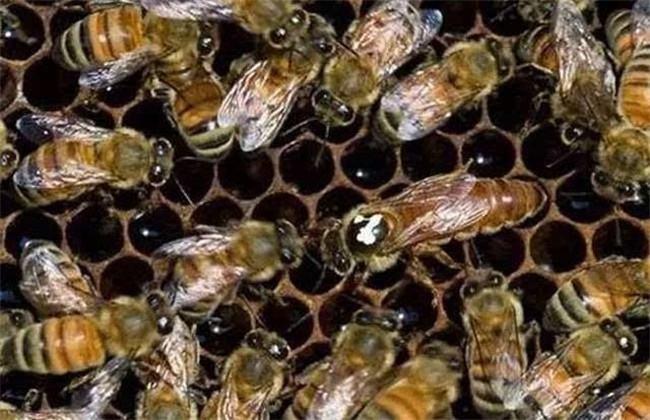 蜜蜂美洲幼虫病如何防治?