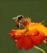 蜜蜂的特点是什么?