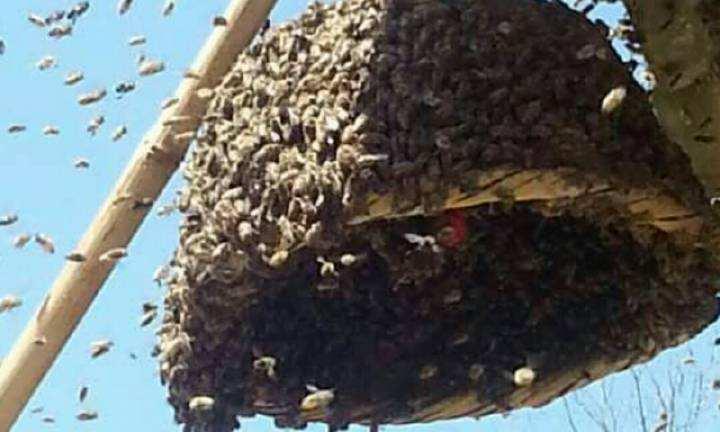 中蜂囊状幼虫病如何防治?