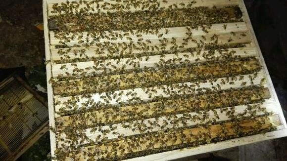 蜜蜂白垩病如何防治?