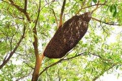 野生蜜蜂怎样抓回家养?