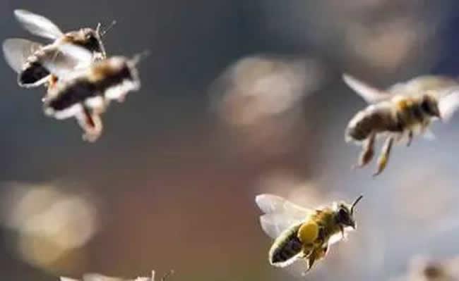 蜂后靠什么控制蜂群?