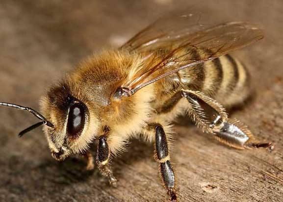 常见的蜜蜂种类