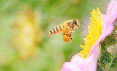蜜蜂是每个季节都产蜜吗?