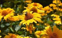 蜜蜂蛰了是好事还是坏事?有什么好处?