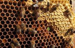 蜜蜂是怎么筑巢的?