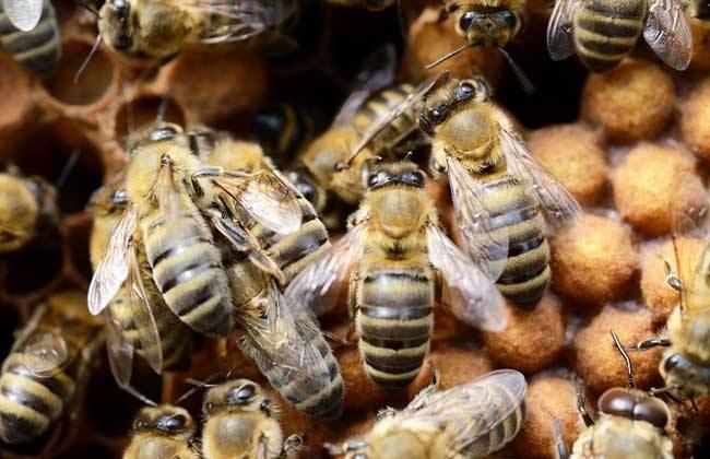 新手怎样养好中蜂?