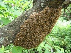 家养蜜蜂冬季怎么保暖?