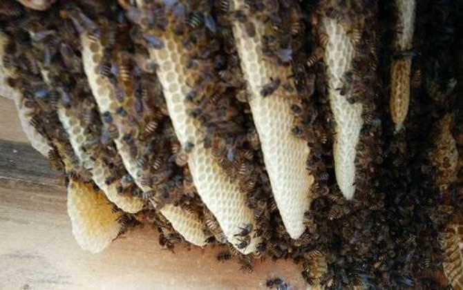 蜜蜂弱群如何发展为强群?