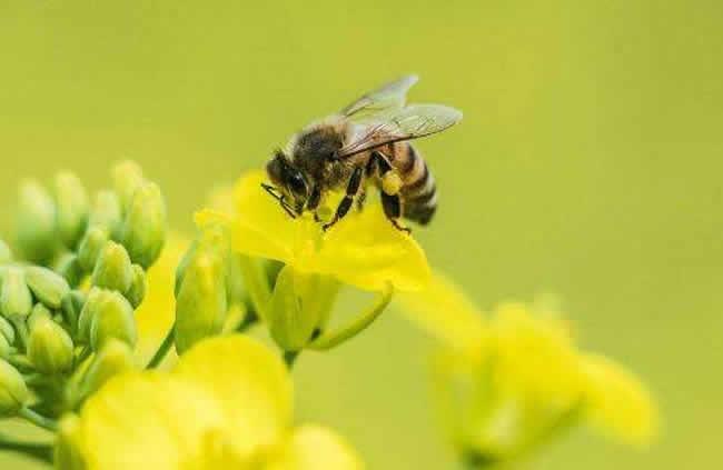 蜜蜂的优点有哪些