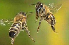 如何有效预防和制止盗蜂现象
