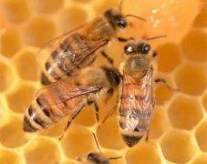 如何让工蜂停止产卵?