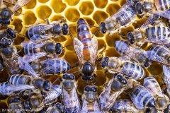 【蜜蜂知识】蜂王(蜂后)会飞吗?