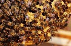 【蜜蜂知识】蜂群没了蜂王会怎么样?