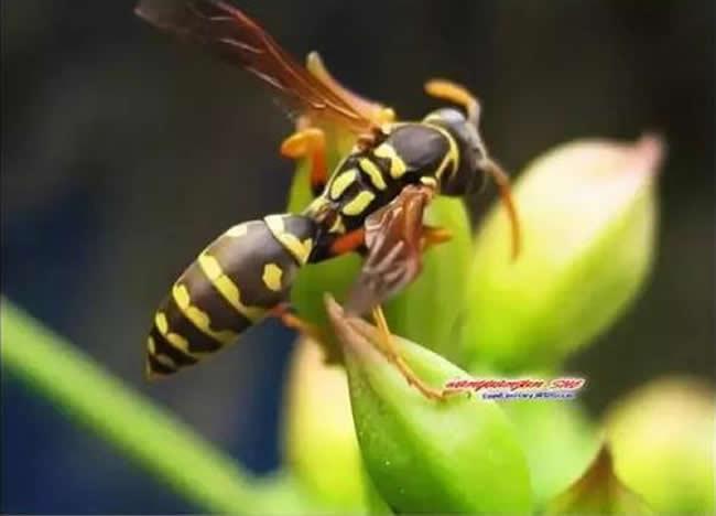 马蜂和蜜蜂的区别
