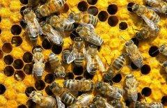 【蜜蜂养殖】蜂王藏在蜂群什么位置?